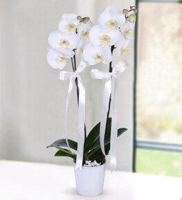 Karda Vals iki Dal Phalaenopsis Orkide