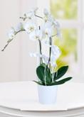 Karda Vals 2 Dal Phalaenopsis Orkide